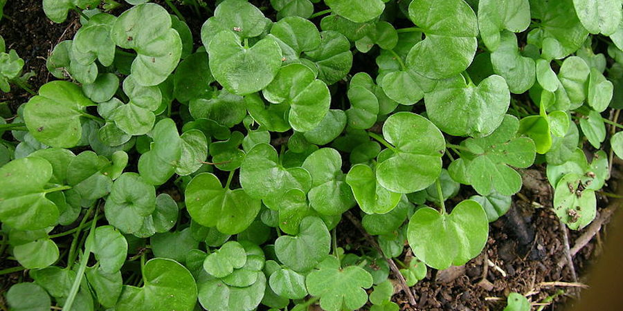 Dichondra Repens: A Lawn Substitute For Shade