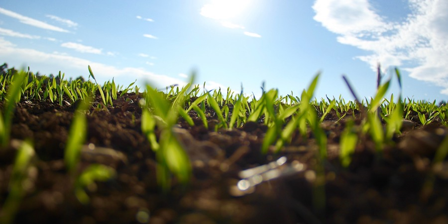 Can Saint Augustine Grass Be Grown From Seed